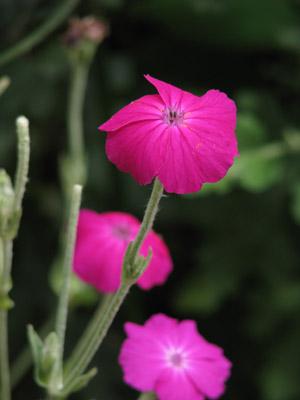geranium-s.jpg