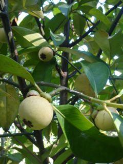 知人宅の庭に実ったマンゴスチン