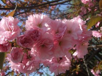 2009_0412鶴見緑地で桜&チューリップ0014