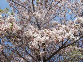 2009_0412鶴見緑地で桜&チューリップ0028