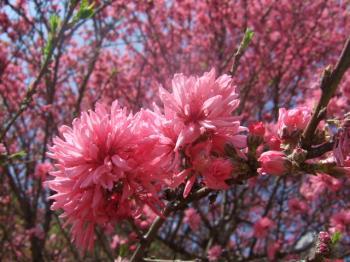 2009_0412鶴見緑地で桜&チューリップ0030