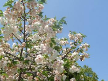 2009_0412鶴見緑地で桜&チューリップ0036