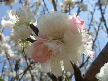 2009_0412鶴見緑地で桜&チューリップ0031