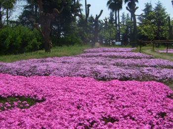 2009_0412鶴見緑地で桜&チューリップ0011