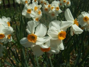 2009_0412鶴見緑地で桜&チューリップ0018