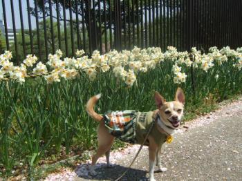 2009_0412鶴見緑地で桜&チューリップ0017