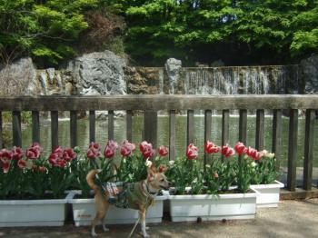 2009_0412鶴見緑地で桜&チューリップ0044