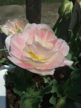 2009_0412鶴見緑地で桜&チューリップ0046