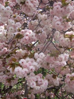 2009_0417造幣局の通り抜け'090018