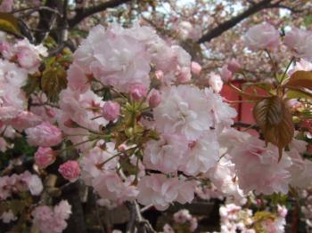 2009_0417造幣局の通り抜け'090031