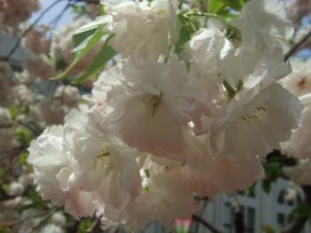 2009_0417造幣局の通り抜け'090054