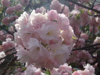 2009_0417造幣局の通り抜け'090061