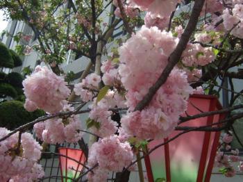2009_0417造幣局の通り抜け'090063