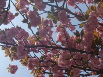 2009_0417造幣局の通り抜け'090066