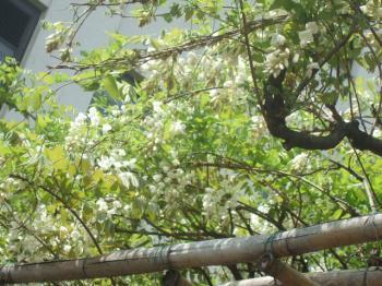2009_0417造幣局の通り抜け'090058