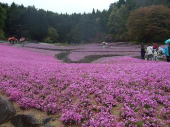 2009_0426花のじゅうたん♪0004