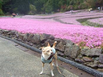 2009_0426花のじゅうたん♪0007