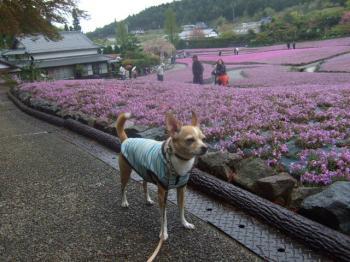 2009_0426花のじゅうたん♪0017