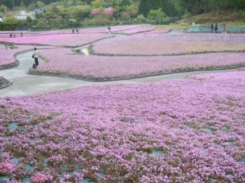 2009_0426花のじゅうたん♪0018