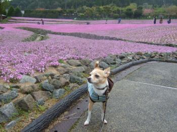 2009_0426花のじゅうたん♪0021