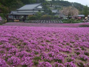 2009_0426花のじゅうたん♪0023