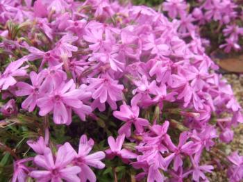 2009_0426花のじゅうたん♪0024