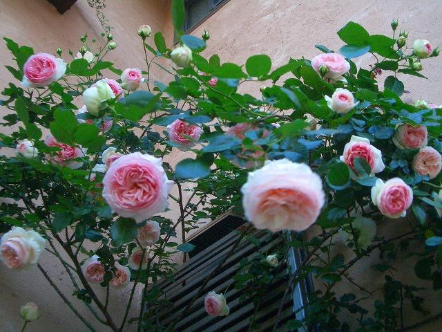 0900514 Best Roses 010