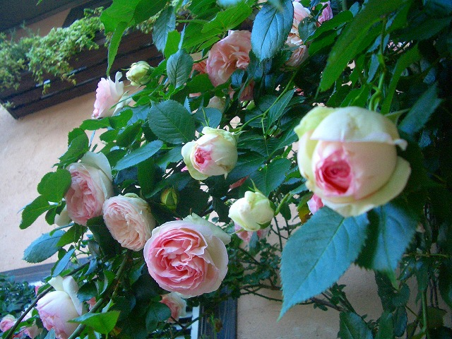 0900514 Best Roses 011