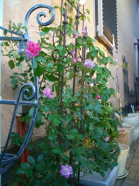0900514 Best Roses 025