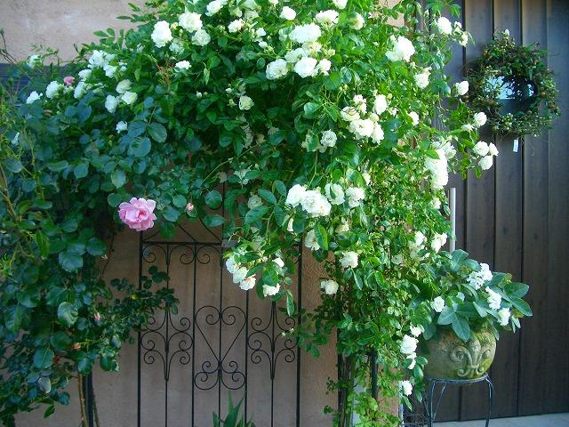 0900514 Best Roses 021