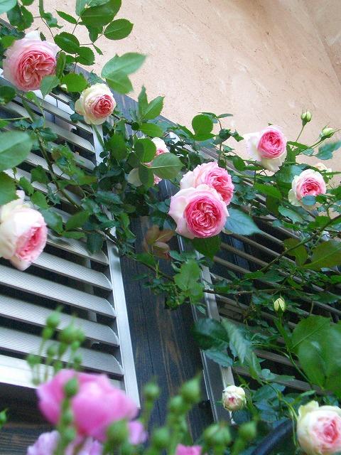 0900514 Best Roses 012