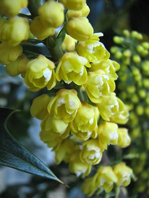 冬咲きヒイラギナンテン