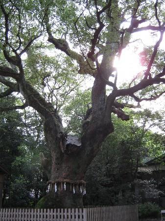 熱田神社 御神木