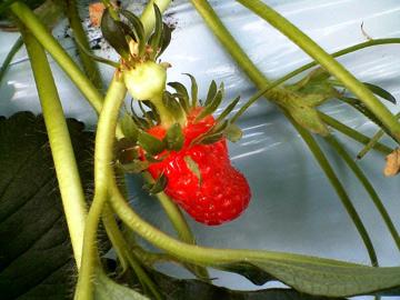 根性のあるイチゴ?
