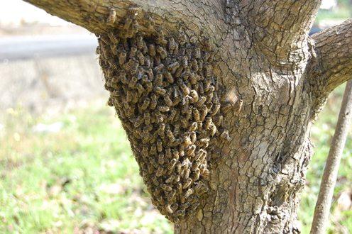 分蜂(柿木に集結)