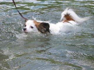 パピ泳ぐ!