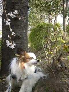桜の匂いを嗅いでみた