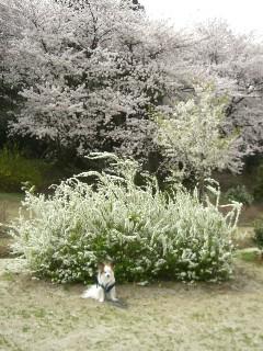桜と雪柳とパピ