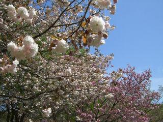 紅白八重桜