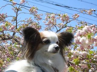 満開の八重桜とパピ