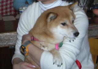 抱っこ犬ポップちゃん