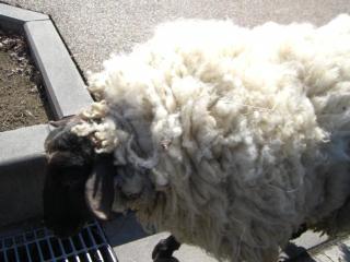 羊さん、横を通る.jpg