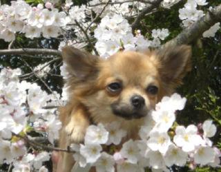きのこと桜