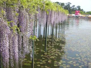 池の上の藤棚