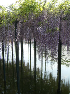 池の上の藤棚2