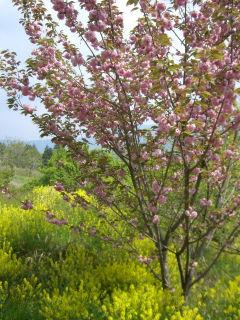 八重桜と菜の花