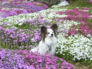 芝桜の中でパピ