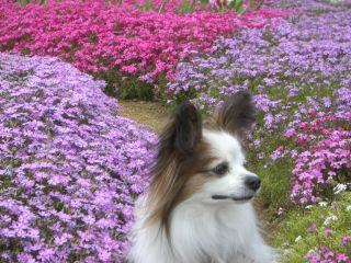 芝桜の中でパピ1