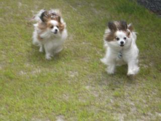 ナナミちゃんとパピ。走ります