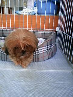 犬山在住の方がシーズーの老犬♀体重5キロ前後のおとなしい子を保護されています…